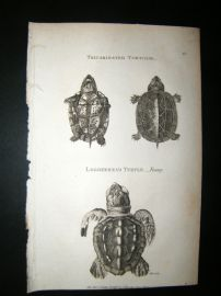 Shaw C1810 Antique Print. Tricarninated Tortoise, Loggerhead Turtle (young)